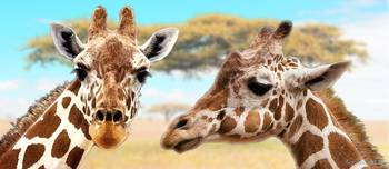 Giraffe Friends