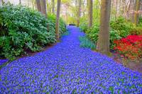 Keukenhof Grape Hyacinth Path Holland Netherlands