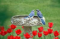 Springtime Blue Jay Lovebirds and Red Tulips