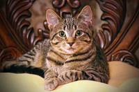 Daisy the Victorian Tabby Kitty Cat