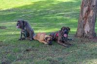 Bull Mastiffs (1 of 1)