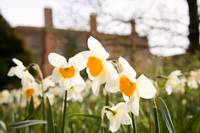 Daffodils at Kentwell Hall