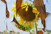 ORL-11631-1 Rustic Sunflower 1