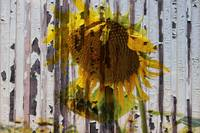 ORL-11631-2 Rustic Sunflower 2