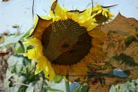 ORL-11632-1 Rustic Sunflower 5