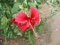 RED Hibiscus in Goa2