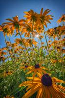 Black-eyed-susans Bask In The Sun