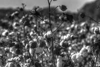 Cotton BW