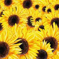Many Many Gorgeous Sunflowers Watercolor Painting