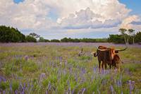 Longhorn Love in the Wildflowers
