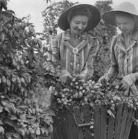 Couple of young women picking hops