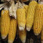 """Corn"" by chrissuderman"