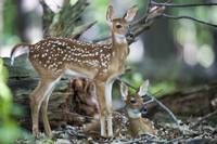 Two Alert Fawns
