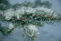 Snow on Blue Spruce