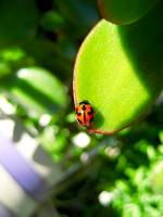 Ladybird on Jade Plant