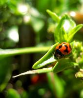Ladybird on chilli leaf