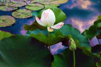 Sunset Pond Lotus