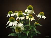 Wild White Coneflowers