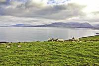 Sheep at the Irish Coast