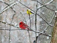 Goldfinch and Cardinal