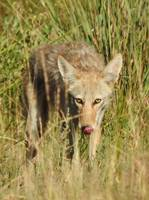 Snack time Coyote