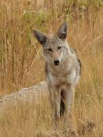 Bison Range Coyote
