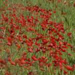 """""""Poppy field"""" by fabrisalvetti"""