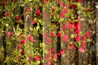 Blossoms On Fence
