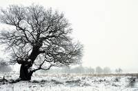 Oak In Winter