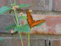 Orange Butterfly on Brick Wall