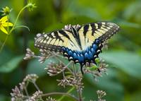 Eastern Tiger Swallowtail yellow