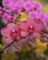 Orchids Dancing in Color