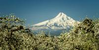 Mt. Hood in Blossoms