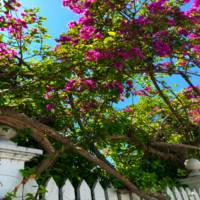 Key West - Bougainvilleas