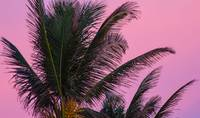 Pink Sky Behind Palm Tree, Florida