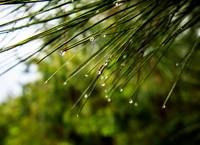 Raindrops on Pine Needles     1506