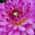 """""""Bright Soft Purple Dahlia"""" by RobertBoretti"""