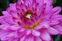 Bright Soft Purple Dahlia