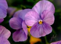 Purple Pansy    1572