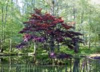 Japanese Maple on the Lake    1615