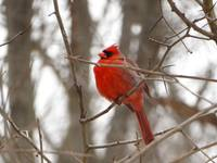 Mr. Northern Cardinal