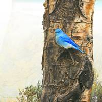 mountain bluebird on aspen trunk