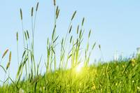Flowering grass in detail - Allergens - Allergy