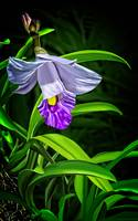 Bamboo Orchid 2