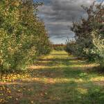 """Apple Picking"" by eligraphy"