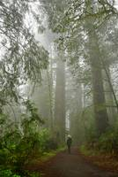 Morning mist in Redwood National Park