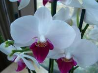 A close up of white purple Phalaenopsis orchids