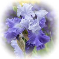 Bearded Iris-Purple Blue White