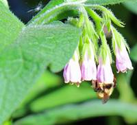 Bee on Comfrey Plant