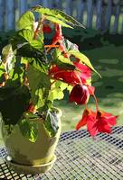 Scarlet Begonia in the Sun